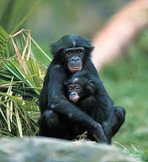 Bonobos2